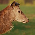 Red Deer at Calke Abbey by Luci Mahon
