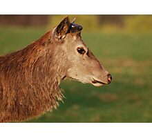 Red Deer at Calke Abbey Photographic Print