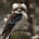 Young Kookaburra  by Tom McDonnell