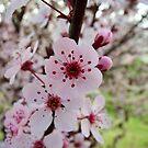 Blossoms by Ashley Frechette