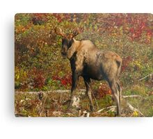 Maine Bull Moose in the fall Metal Print