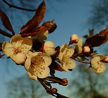 Cherry Blossom on Blue by Themis