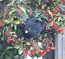 Hungry Blackbird by dilouise