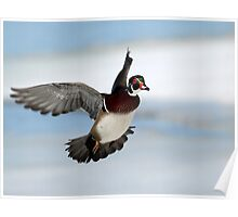 In Flight / Wood Duck Drake Poster