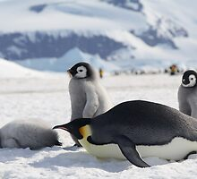 Emperor Penguins at Snow Hill Island, 10/10 by chrisepting