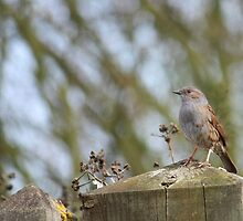 Dunnock Surveys his Territory by avocet