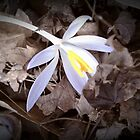 The Crocus - A Dream of Spring by April May Maple