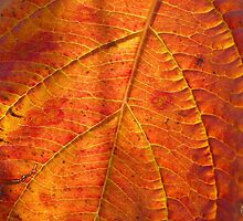 Intense orange autumn leaf by contradirony