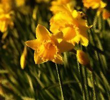 Daffodils with a difference by moor2sea