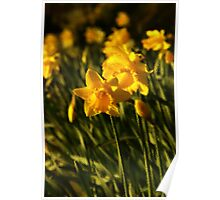 Daffodils with a difference Poster