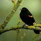 REDWING BLACK BIRD by RoseMarie747