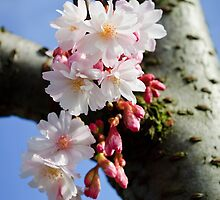 Cherry blossom by David Isaacson