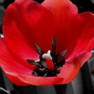 *Tulip Popped Out Red* by Darlene Lankford Honeycutt