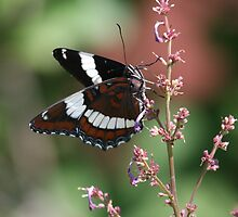White Admiral Butterfly by Al Mechler