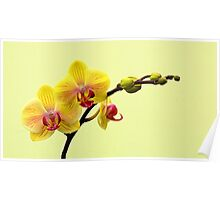 Yellow Amabilis Orchid Poster