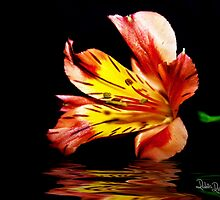Reflection of a Lily by Robin Reidy