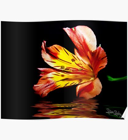 Reflection of a Lily Poster
