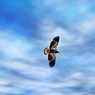 Young Eagle in Flight by Gary Smith