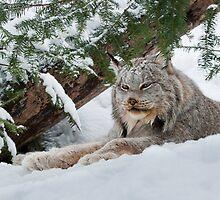 Canada Lynx by (Tallow) Dave  Van de Laar