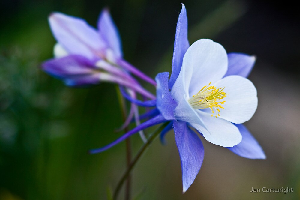 Dancing Columbine by Jan Cartwright