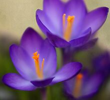Spring Crocus by KatMagic Photography
