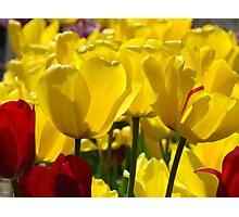 Yellow Sunlit Tulips Garden Spring art Baslee Troutman Photographic Print