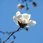 Blue Sky Floral art White Magnolia Flowering Tree Spring Baslee by BasleeArtPrints