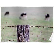 Barbed wire cows Poster