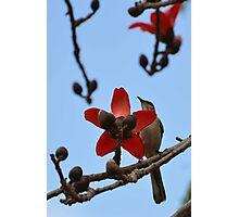 Mockingbird on a cotton tree 2 Photographic Print