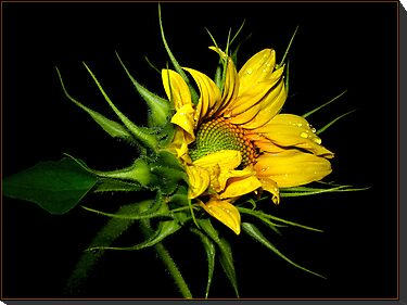 sunflower by Helenvandy