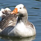 Greylag Goose by Jason Read-Jones