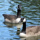 Canadian Geese by Jason Read-Jones