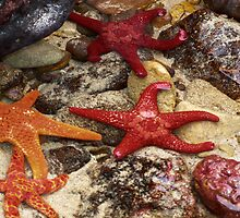 Star Fish,Great Ocean Road,Australia. by Darryl Fowler