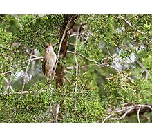 House wren sits on a cedar branch Photographic Print