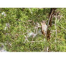 House wren sitting in cedar trees Photographic Print