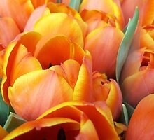 Sunkissed Tulips by rualexa