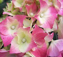 Pretty Hydrangea by rualexa