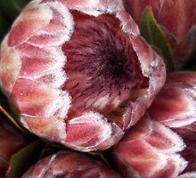 Proteas by rualexa