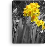 Daffodils @ Dad's  Canvas Print