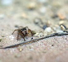Jumping Spider - Reflecting Humanity by Henry Inglis