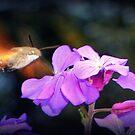 Humming Bird Moth in Corfu by Hazel Dean