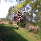 7 Legged Orb Weaver - Near Beechworth by Henry Inglis