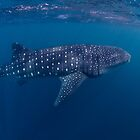Giant from the Deep, Ningaloo, Western Australia by Erik Schlogl