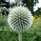 Thistle-like flowering plant, Botanical Gardens, Wellington, New Zealand by bm220