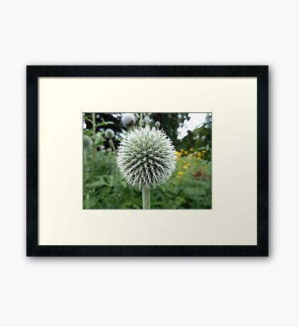 Thistle-like flowering plant, Botanical Gardens, Wellington, New Zealand Framed Print