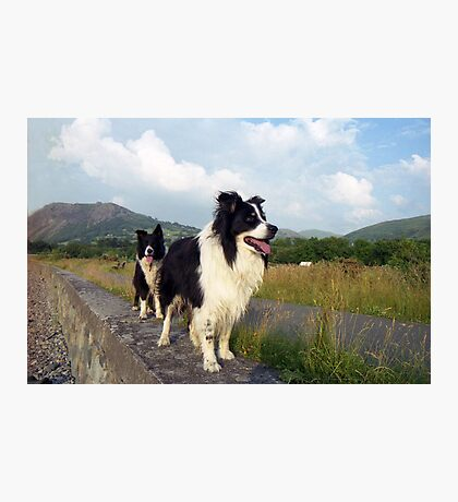 Two Collies Photographic Print