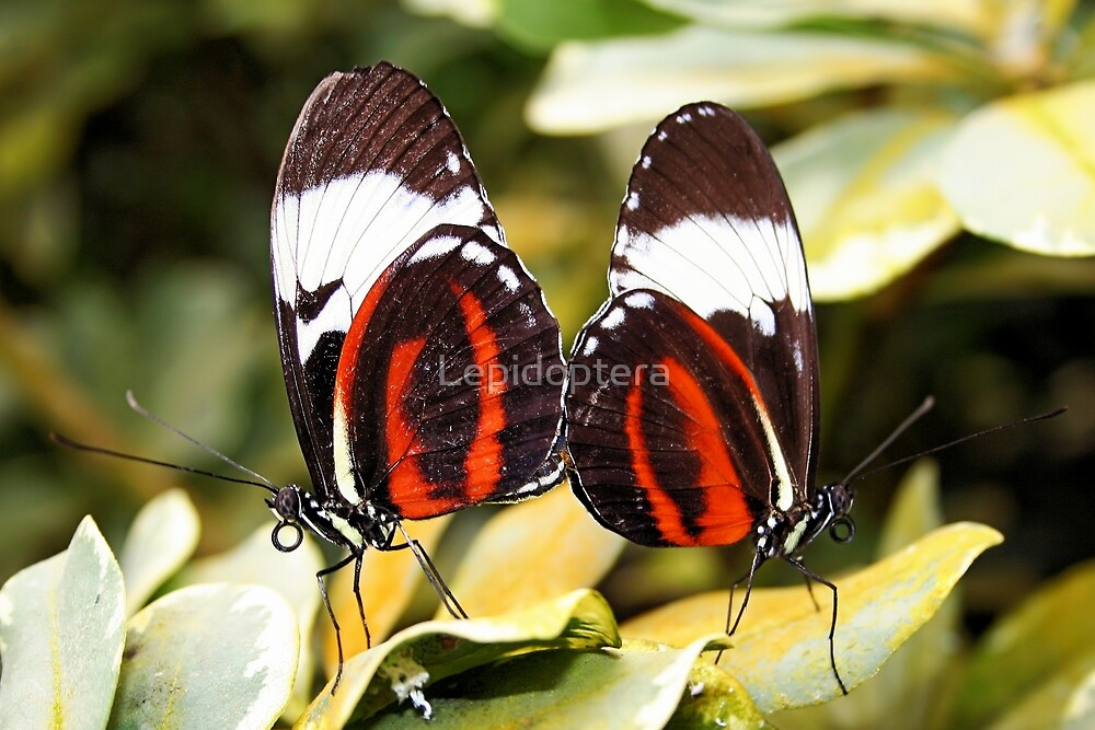Mating - Cydno Longwing - Heliconius cydno by Lepidoptera