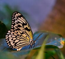 Butterfly by nscphotography