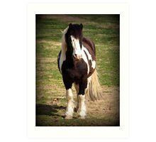 Gypsy Cob Stallion Art Print