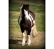 Gypsy Cob Stallion Photographic Print